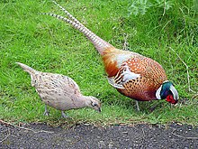 Female and Male Common Pheasant